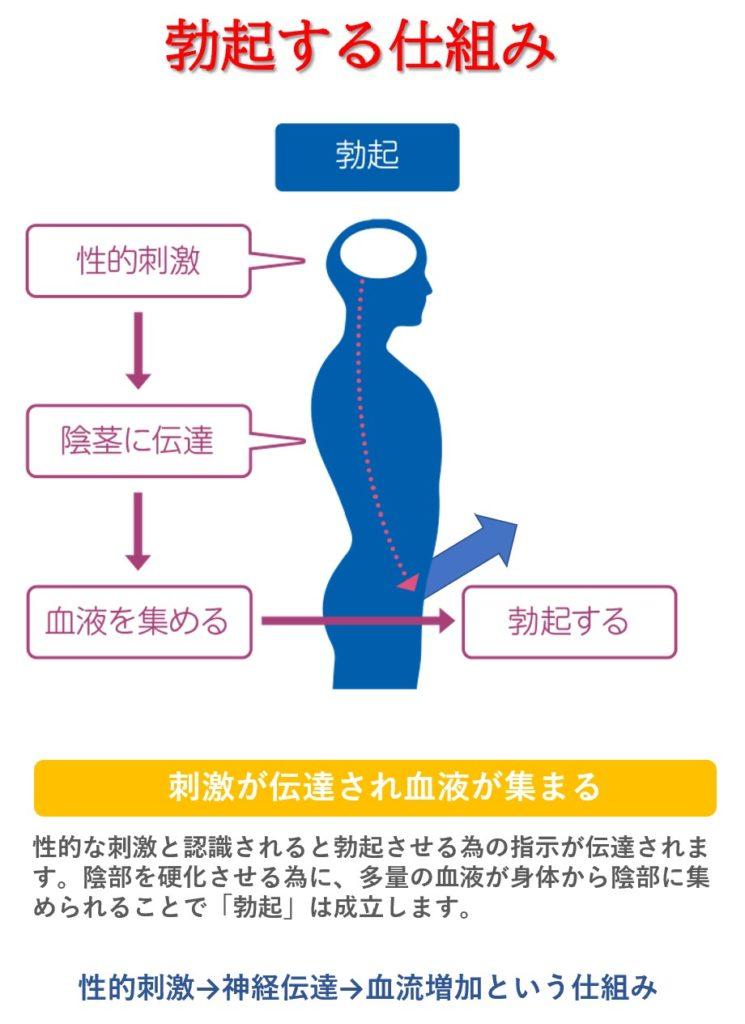 勃起の仕組み:性的興奮→神経伝達→血流増加→勃起